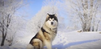 Difference Between Alaskan Malamute and Siberian Husky