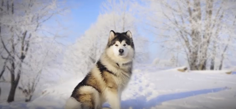 Difference Between Alaskan Malamute and Siberian Husky | Samsung ...