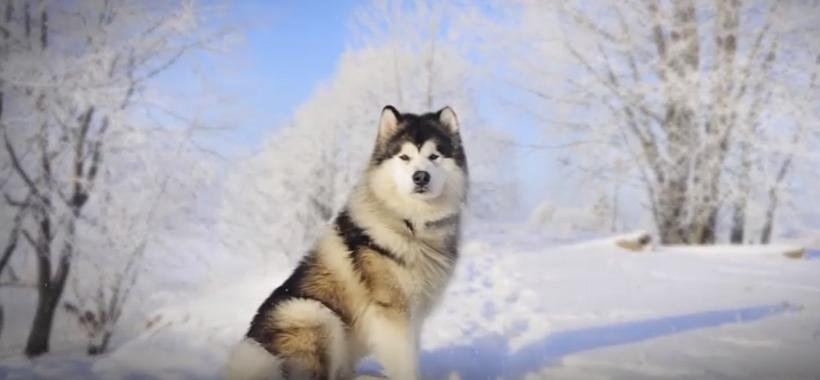 Difference Between Alaskan Malamute and Siberian Husky ...