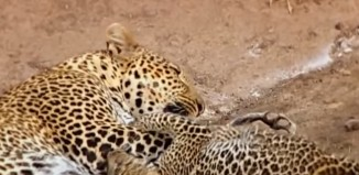 Difference Between Cheetah and Leopard Spots