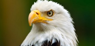 difference-between-male-and-female-bald-eagles
